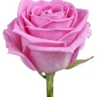 Роза Аква (РОССИЯ)