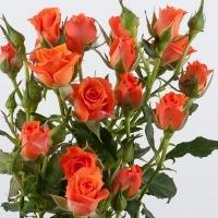 Роза Алегрия (Россия) кустовая
