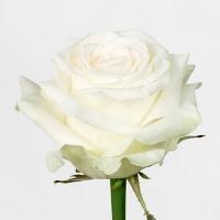 Роза Доломити (Россия) 60 см