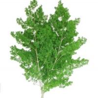 Зелень Аспарагус Умбелатус (Израиль)