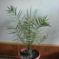 Финиковое дерево